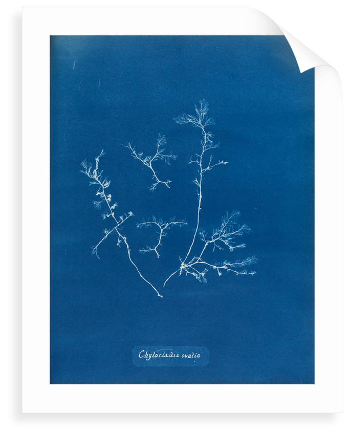 Chylocladia ovalis by Anna Atkins