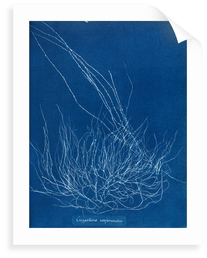 Gigartina confervoides by Anna Atkins