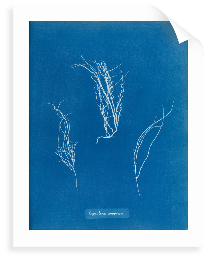 Gigartina compressa by Anna Atkins