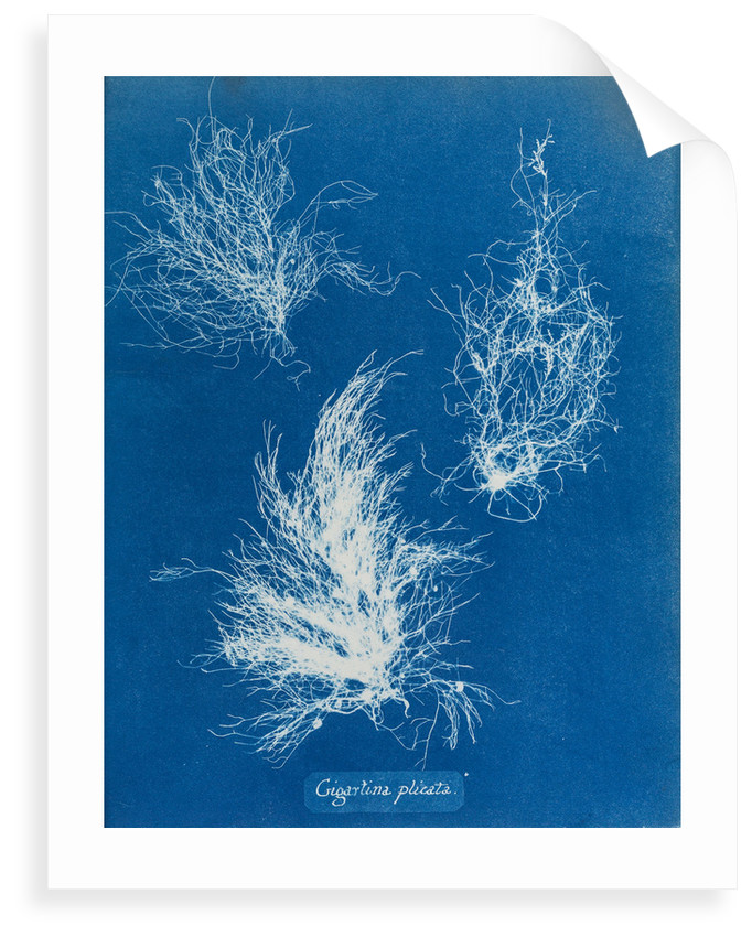 Gigartina plicata by Anna Atkins