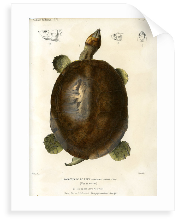 Magdalena river turtle by Léon Louis Vaillant