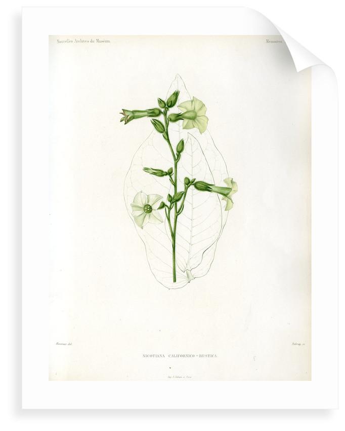 Nicotiana hybrids by Debray