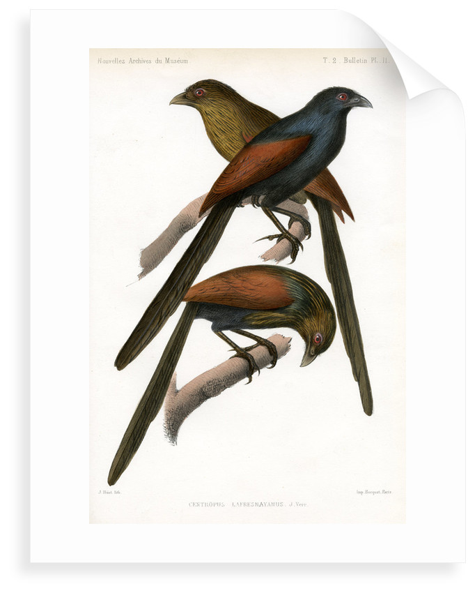 Malagasy coucal by J Huet