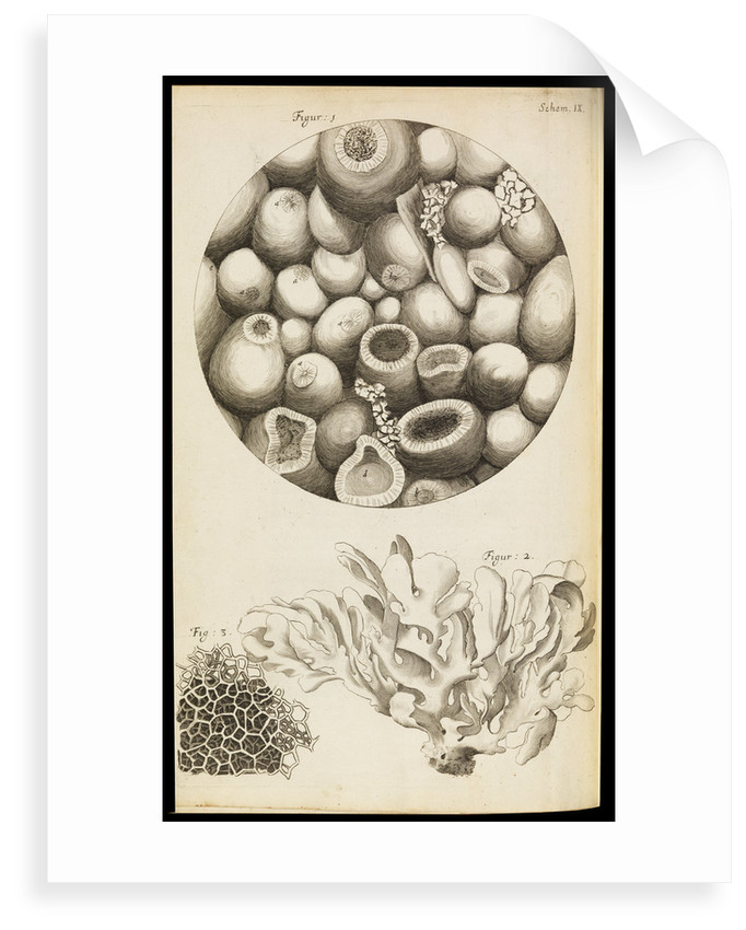 Microscopic views of Kettering-stone, seaweed and sponge by Robert Hooke