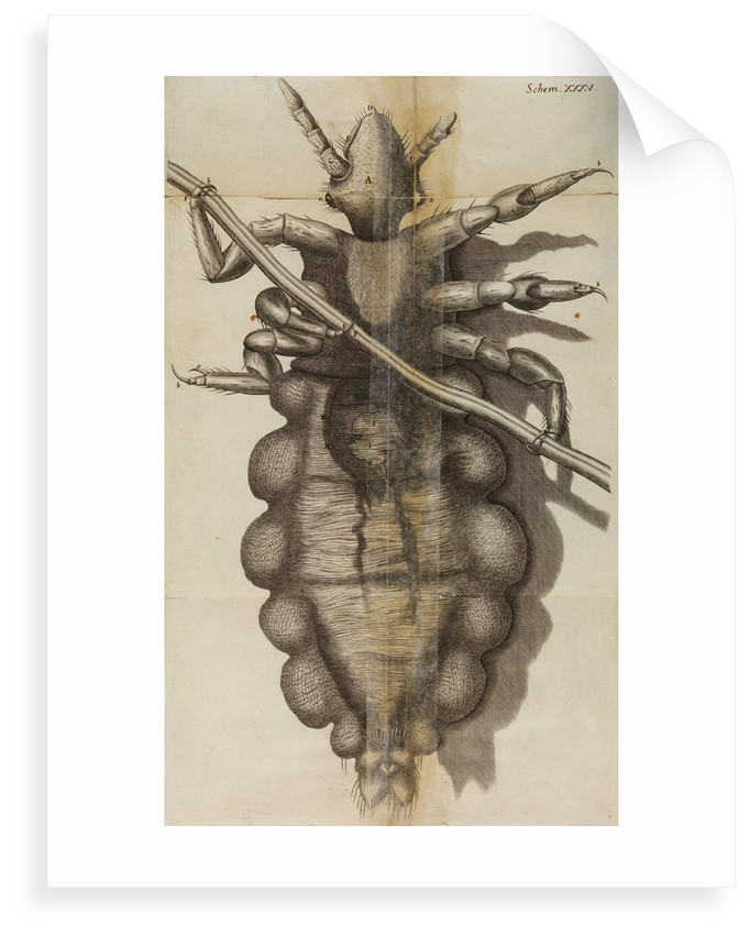 Microscopic view of a louse by Robert Hooke