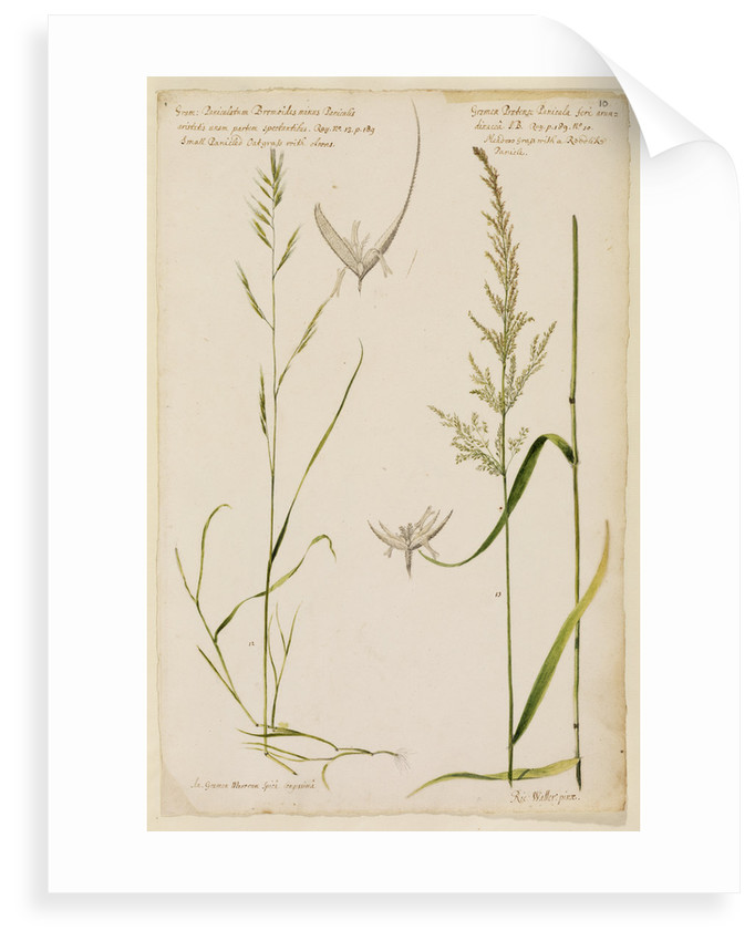 Small panicled oat grass and meadow grass with reed-like panicle by Richard Waller
