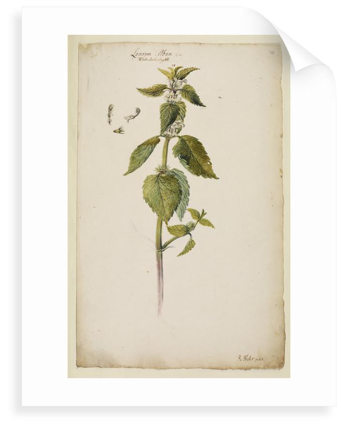 White archangel or dead nettle by Richard Waller