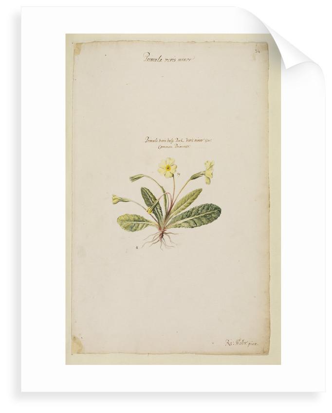 Common primrose by Richard Waller
