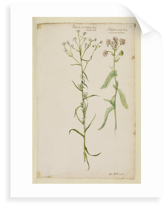 Sneezewort and common yarrow by Richard Waller