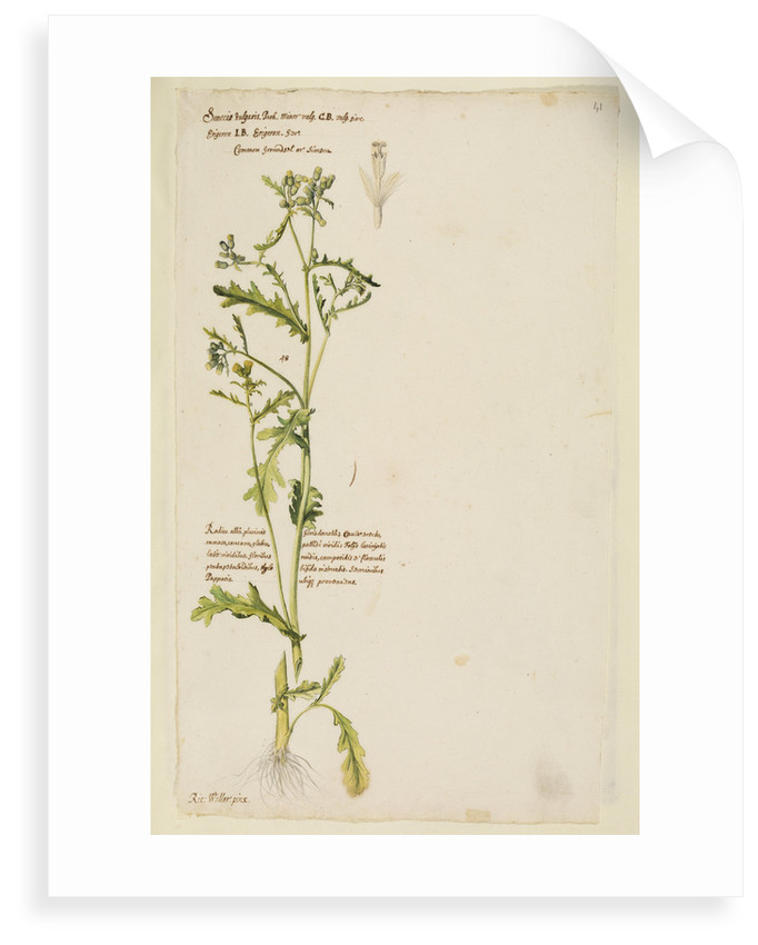 Common groundsel or simson by Richard Waller