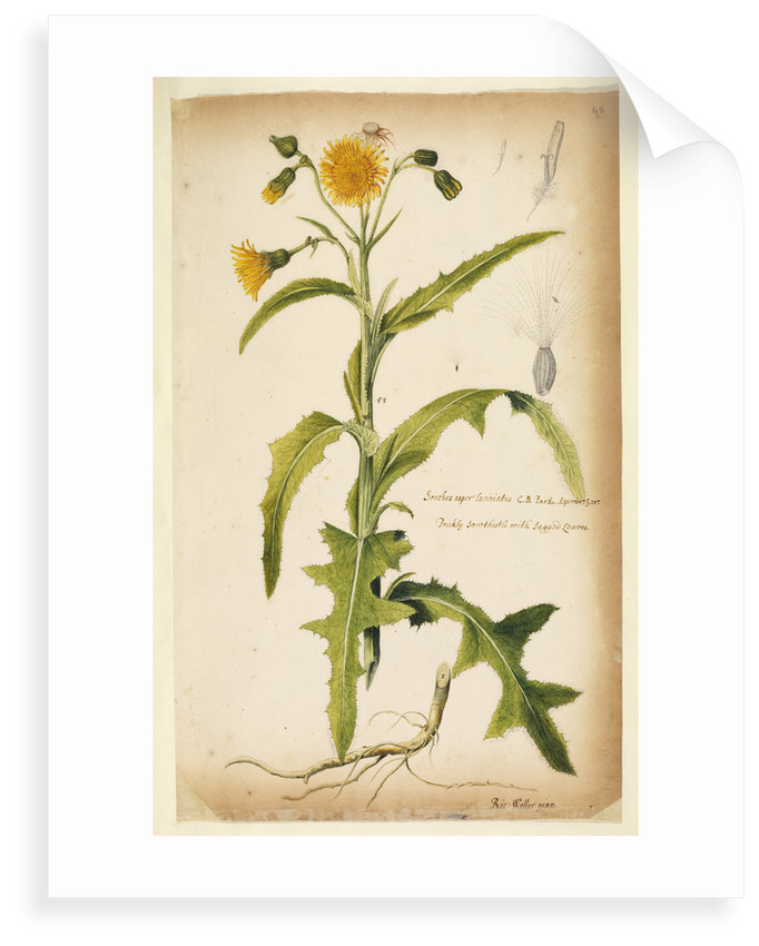 Prickly sow-thistle with jagged leaves by Richard Waller