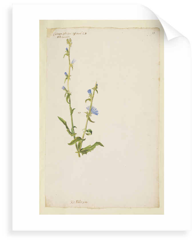 Wild succorie or chicory by Richard Waller