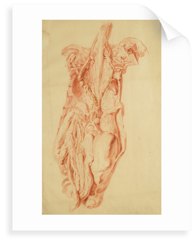 Anatomical study of the human torso by Jan van Rymsdyk