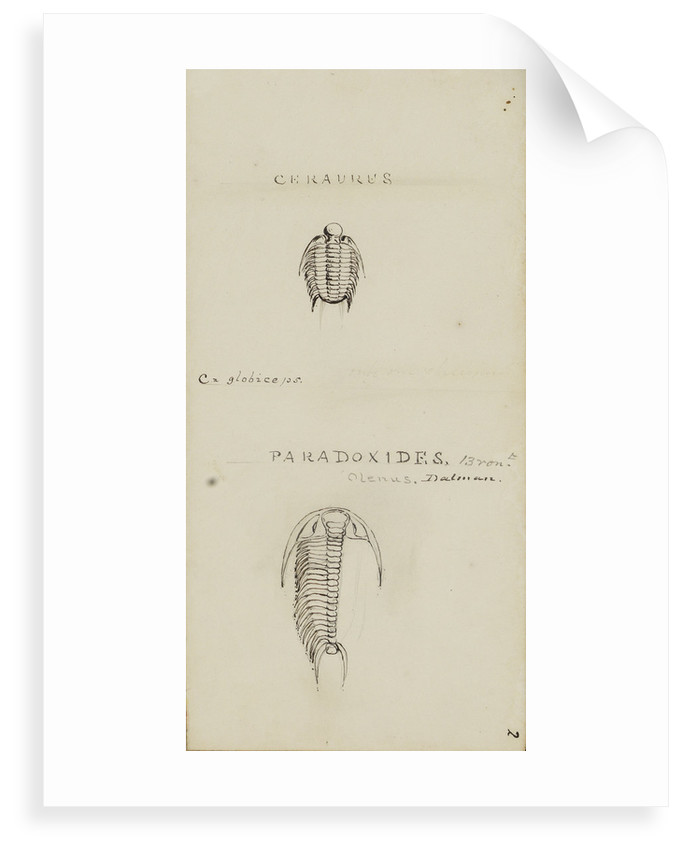 Ceraures and Paradoxides, genera of trilobite by Henry James