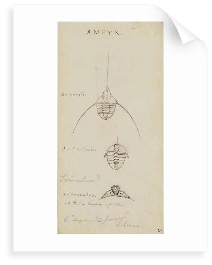Ampyx, genus of trilobite by Henry James