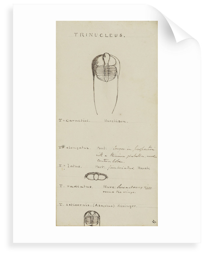Trinucleus, genus of trilobite by Henry James