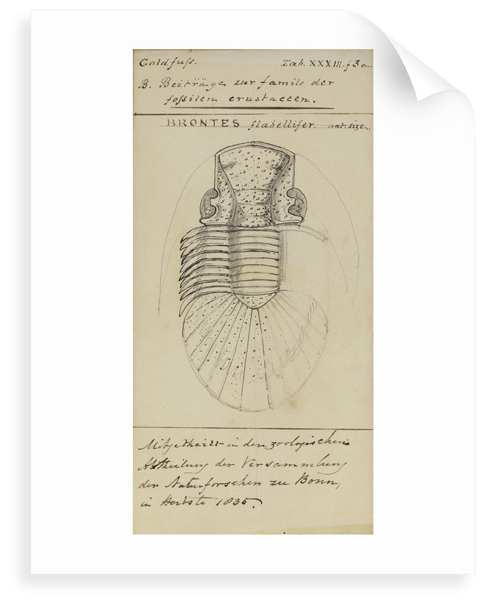 Brontes flabellifer, species of trilobite by Henry James