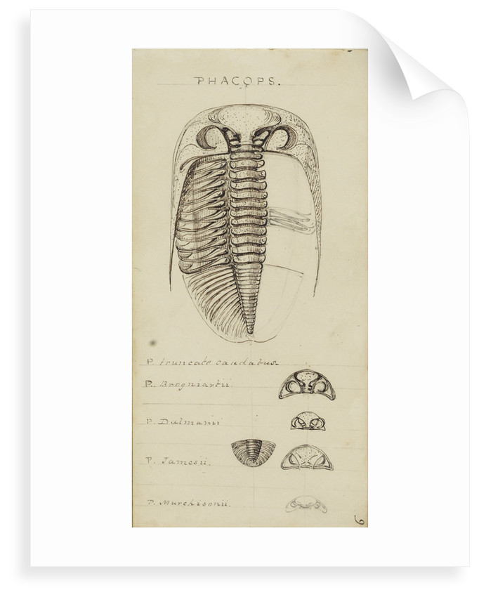 Phacops, genus of trilobite by Henry James
