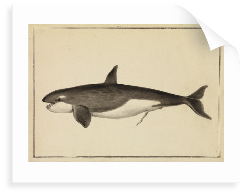 Grampus [Killer whale] by William Bell
