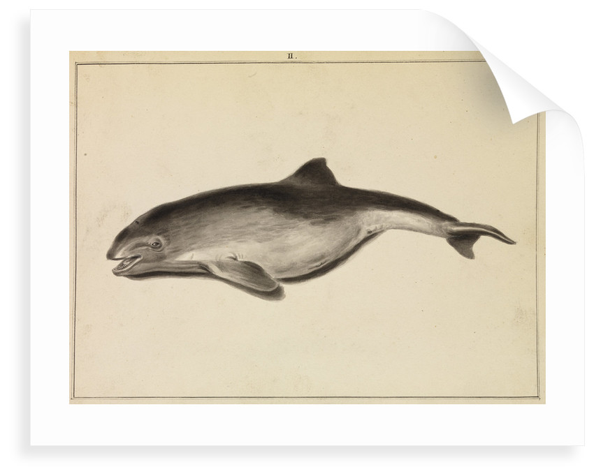 Grampus [False Killer whale?] by William Bell