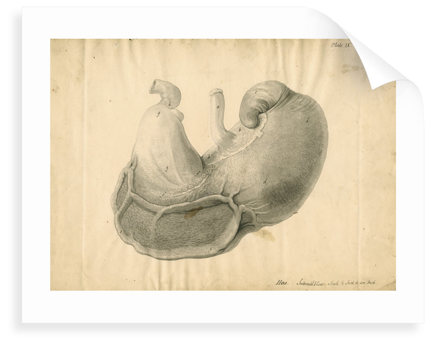 'Hog. Internal view' by William Clift