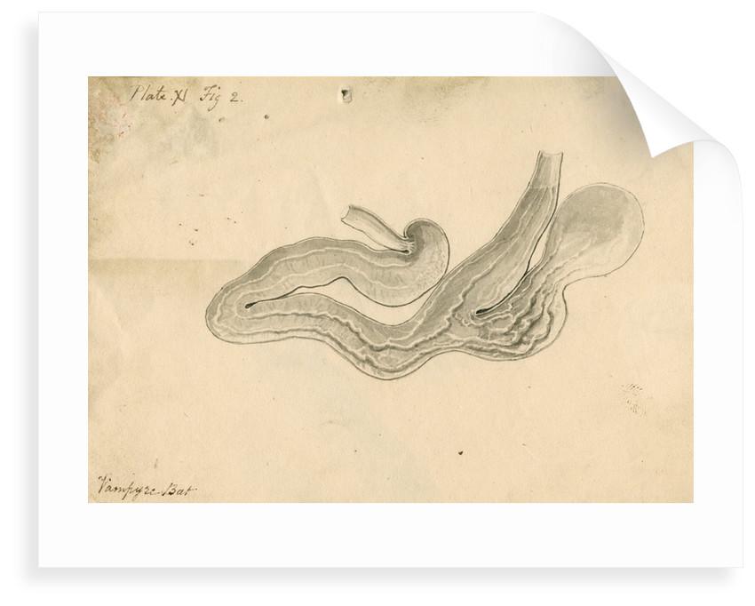'Vampyre bat [stomach]' by William Clift