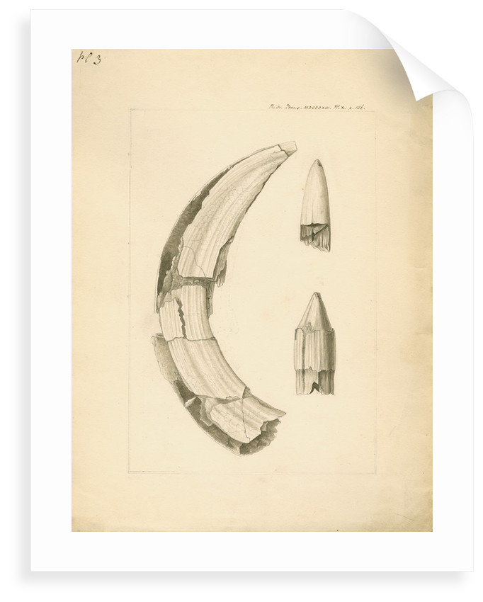 Fossil hippopotamus tusk and tooth by Anonymous