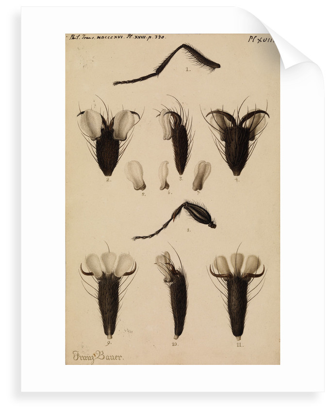 Bluebottle fly and Fever-fly legs by Franz Andreas Bauer