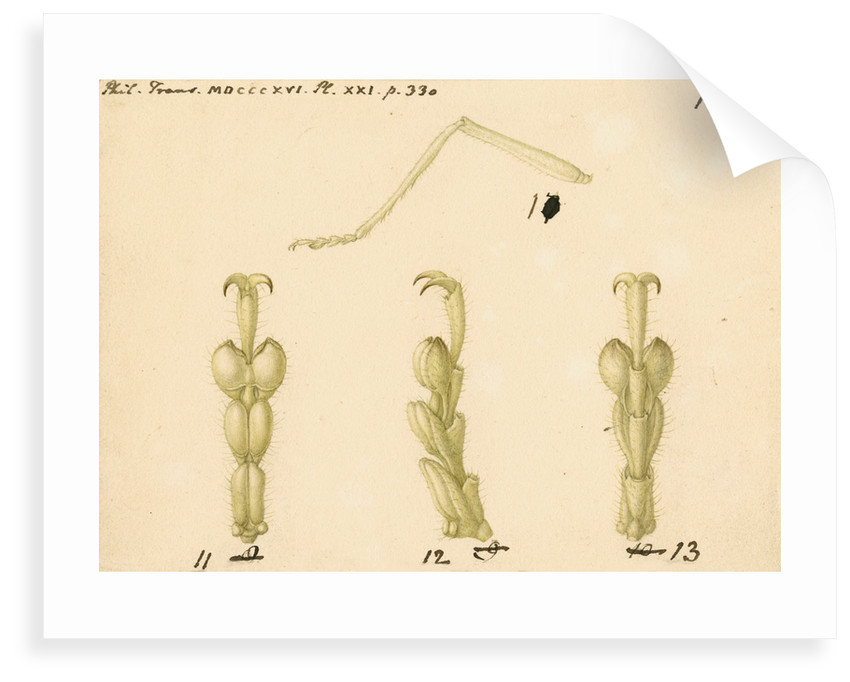 Oak bush-cricket legs by Franz Andreas Bauer