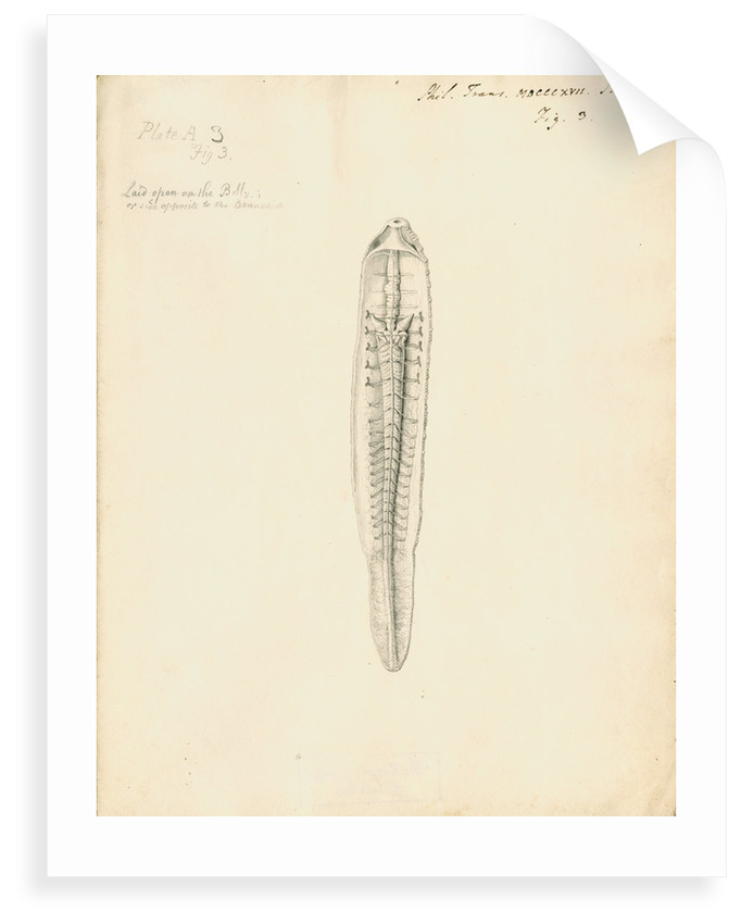 Lumbricus marinus [Lugworm] dissected by William Clift