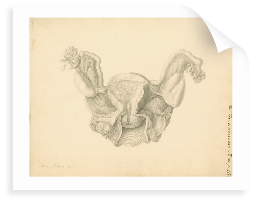 Human uterus by Franz Andreas Bauer