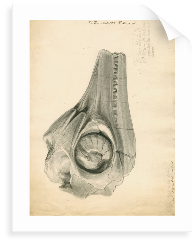 Fossil skull of the Proteo-saurus [Ichthyosaur] by William Clift
