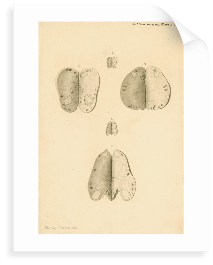 Ovaries of a kangaroo by Franz Andreas Bauer