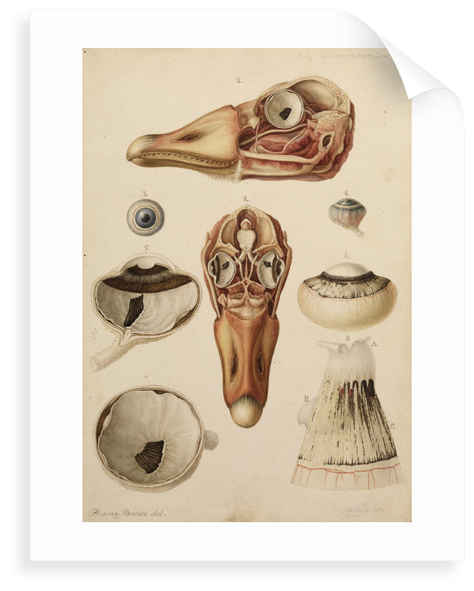 Goose head and eye by Franz Andreas Bauer