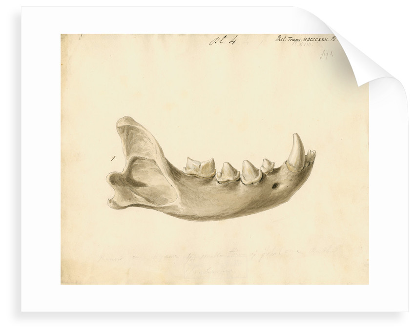 Hyaena jaw by Thomas Webster