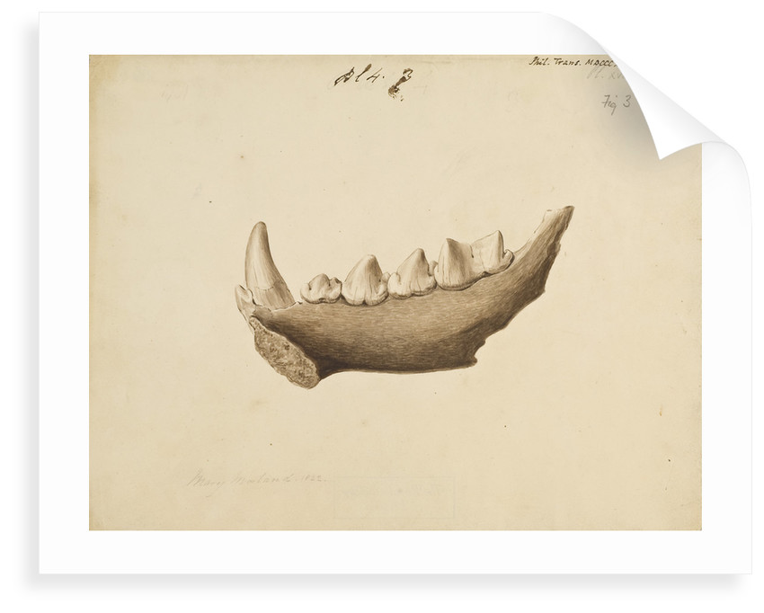 Hyaena jaw by Mary Morland