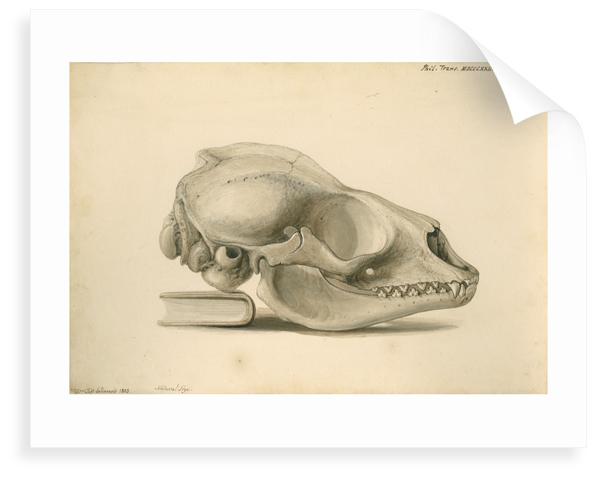 Orkney seal skull by William Clift