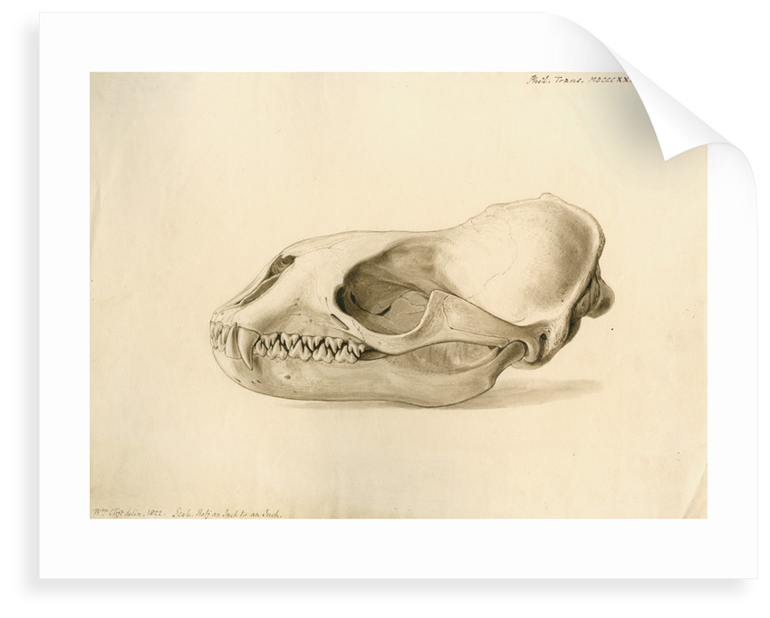 New Georgia seal skull by William Clift
