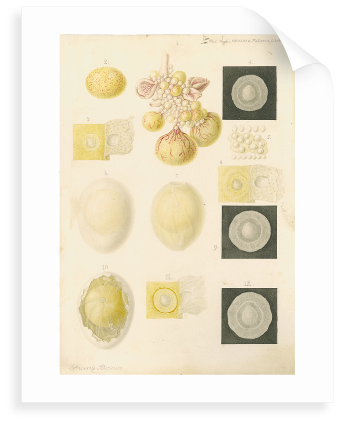 Ovum of a hen and egg yolks by Franz Andreas Bauer