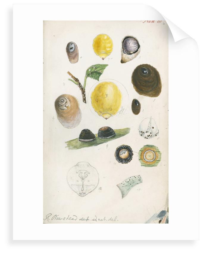 Aspidiotus bromelliae, Aspidiotus camellae and Aspidiotus personatus by Robert Newstead