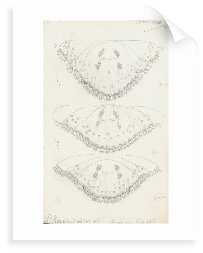 Posterior body parts of Parlatoria pergandii [Chaff Scale], Parlatoria proteus [Proteus scale] and Parlatoria zizyphi [Black parlatoria scale] by Robert Newstead