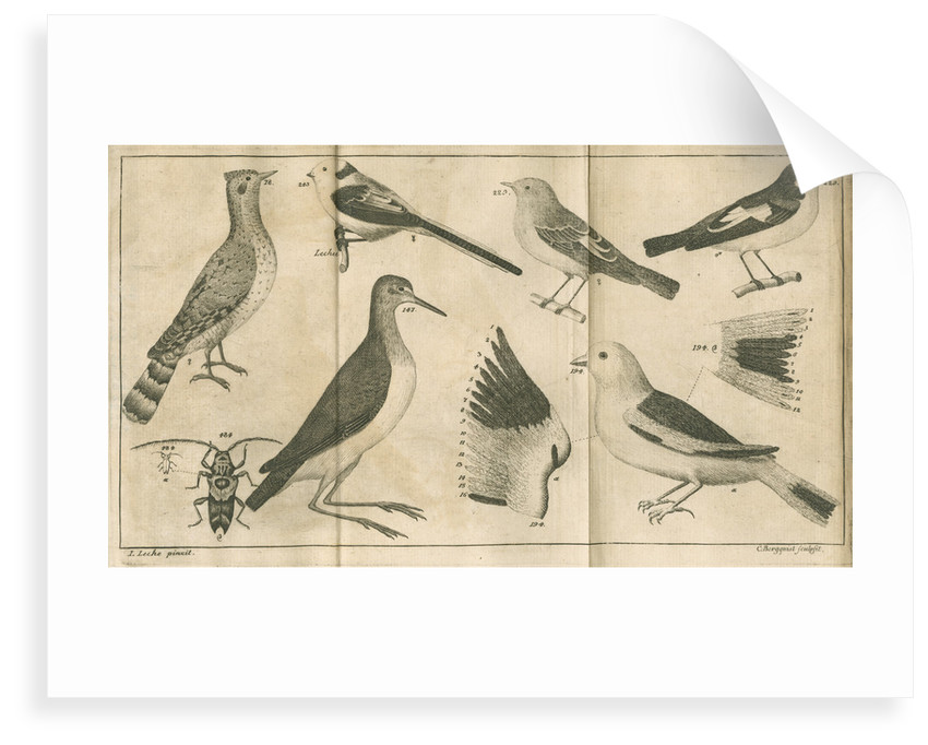 Birds and a beetle from Linnaeus's 'Swedish Fauna' by C Bergquist