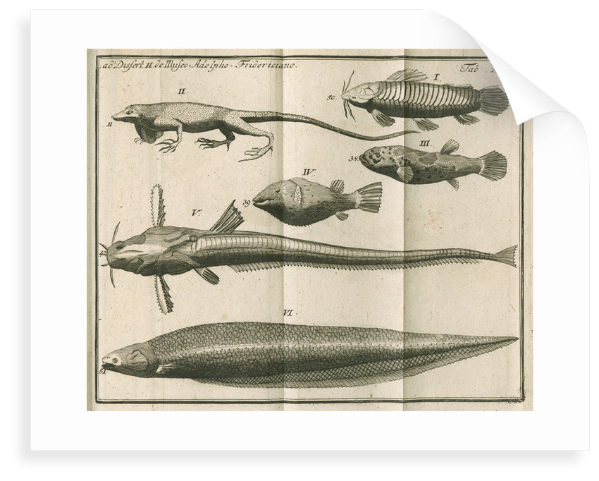 Species of fish and a lizard from Linnaeus's 'Academic delights' by Anonymous