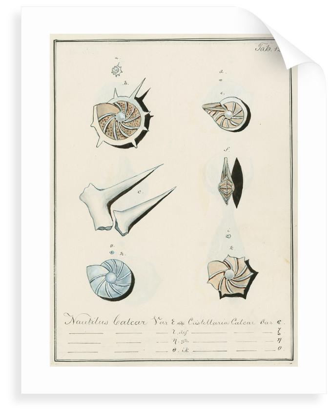 'Nautilus calcar...' [four specimens of foraminifera by Henry Bowman Brady
