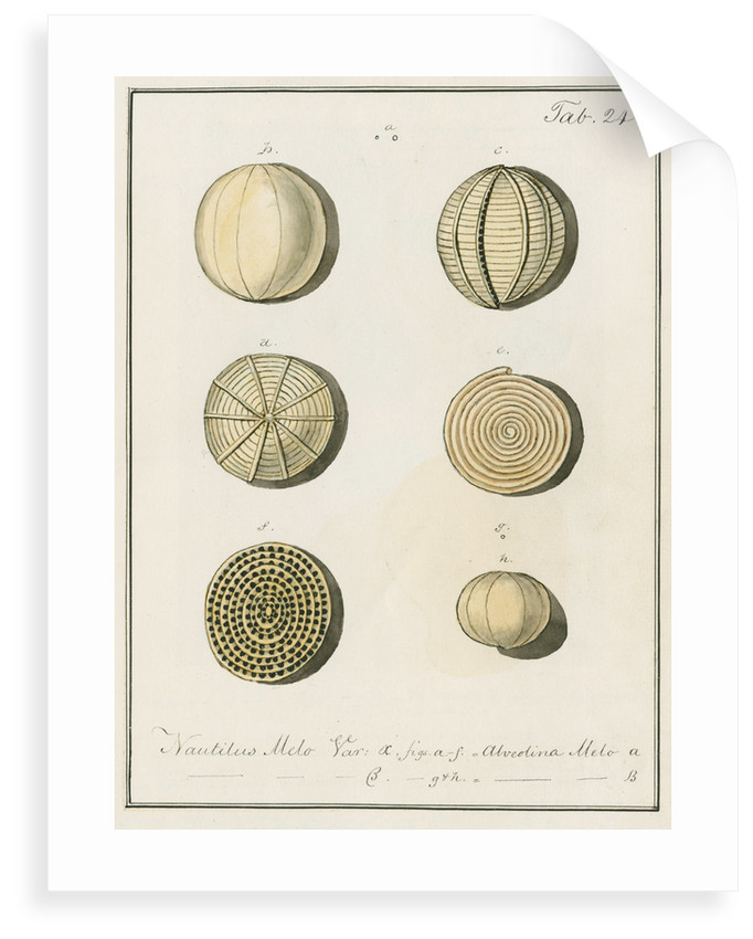 'Nautilus melo...' [two specimens of foraminifera] by Henry Bowman Brady
