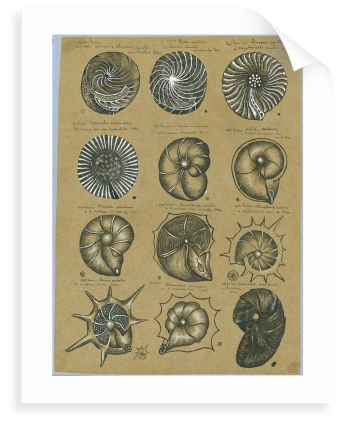Twelve specimens of foraminifera by Henry Bowman Brady