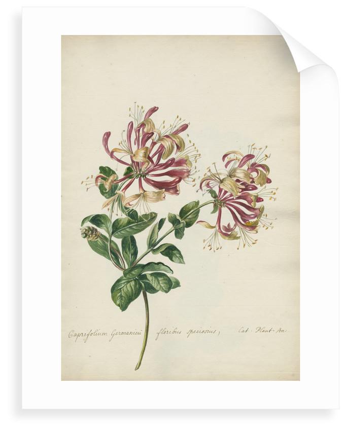 'Caprifolium Germanicu...' by Jacob van Huysum