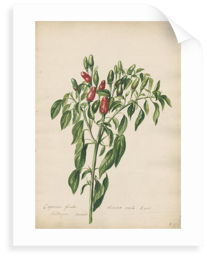 'Capsicum fructu olivario...' by Jacob van Huysum