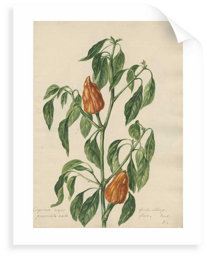 'Capsicum majus...' by Jacob van Huysum