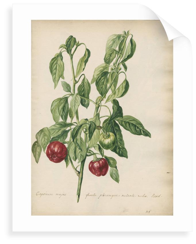 'Capsicum majus fructu...' by Jacob van Huysum